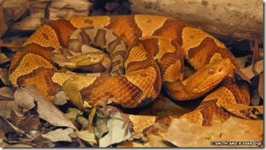_62820648_copperhead_thumb[1]