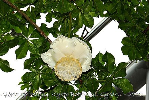 Glória Ishizaka -   Kyoto Botanical Garden 2012 - Plantas do deserto - Andansonia digitata