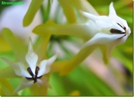 hoya multiflora fiore