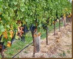 Влияние погодных условий на рост винограда 1