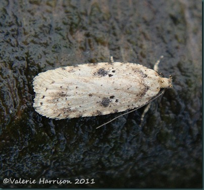 agonopterix-arenella-3