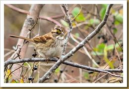 - White-throated SparrowD7K_8994 November 17, 2011 NIKON D7000