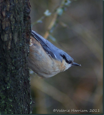 9-nuthatch