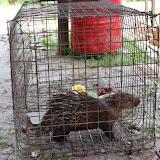 写真7:  N村で生け捕りにされ飼育されているボルネオヤマアラシ。(撮影:市川 哲)