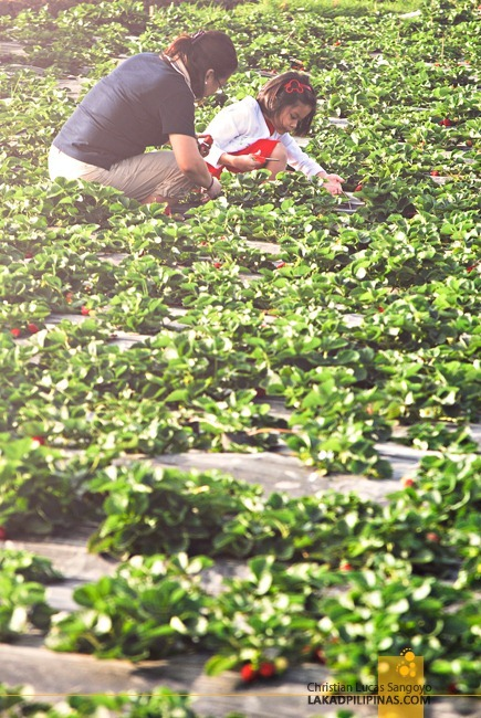 Mother and Daughter Picking Strawberries at La Trinidad's Strawberry Farm