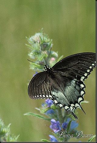 S_Butterfly3_Lobelia