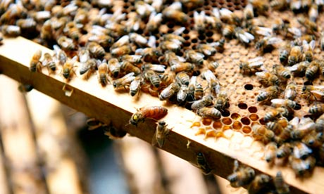 Bees in a beehive. Neonicotinoid insecticides have for the first time been officially labelled an 'unacceptable' danger to bees feeding on flowering crops. Environmental campaigners say the conclusion, by Europe's leading food safety authority, sounds the 'death knell' for the insect nerve agents. Photo: Alamy