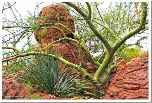 120728_ArizonaSonoraDesertMuseum_529_palo_verde