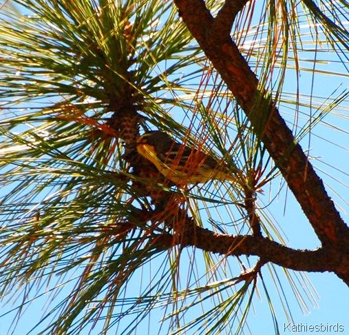 19. Grace's warbler-kab
