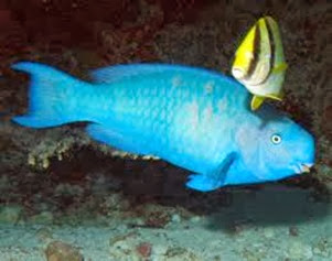 Amazing Pictures of Animals, Photo, Nature, Incredibel, Funny, Zoo, Parrotfish, Scaridae, Fish, Alex (6)