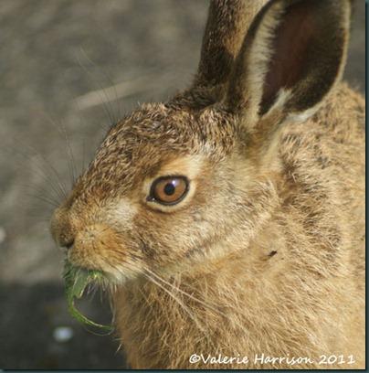 hare-5