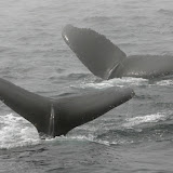Humpback whales in fog