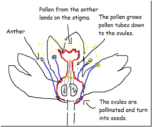 Self Pollination Diagram Lektonfo