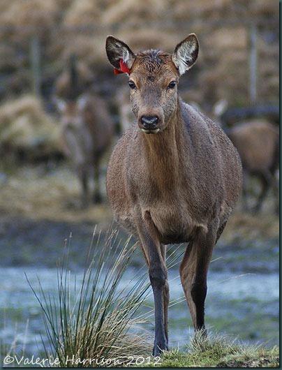 3-red-deer