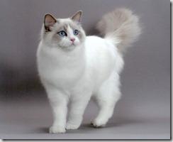 Cardiomiopatia ipertrofica del gatto