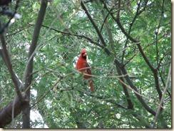 Cardinal 6-13-2012 8-31-24 AM 2647x2624