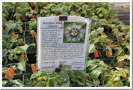 110211_AnniesAnnuals_Passiflora-edulis-Frederick