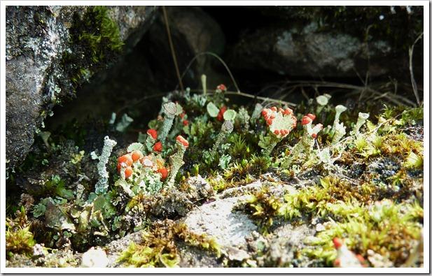 Pixie Cup (Cladonia pyxidata)