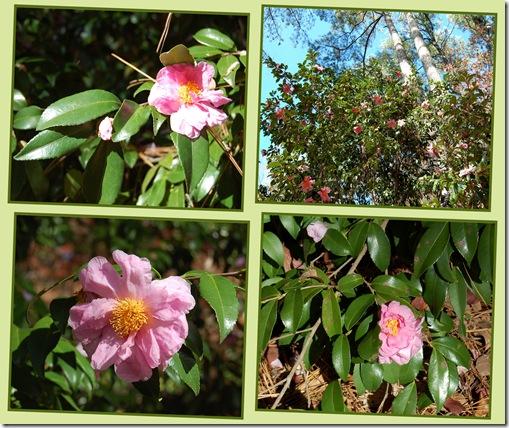 pale camellia