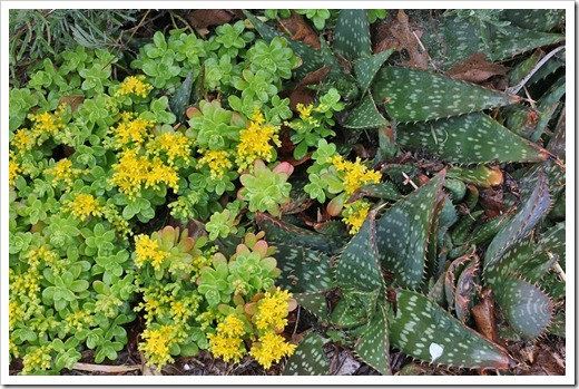 120330_Sedum-confusum- -Aloe-maculata