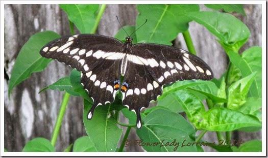 08-28-swallowtail2