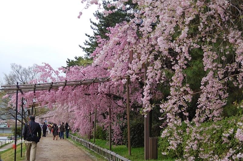 日本京都半木之道櫻