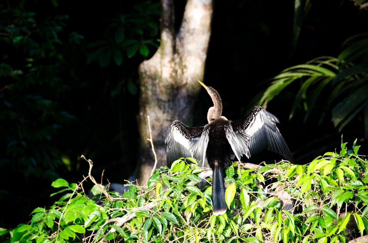 Bird at Tortuguero National Park