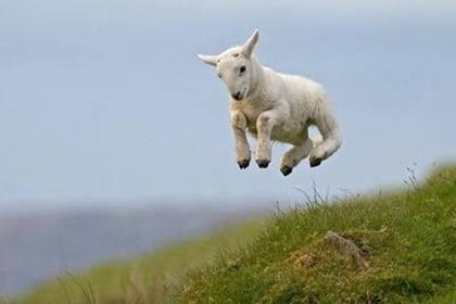 jumping_lamb