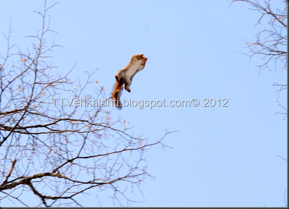 lintuja lentävä orava 050