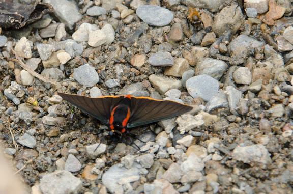 Pyrrhopyge telassina shiva EVANS, 1951. Nord de Coroico à 1000 m d'alt. (Yungas, Bolivie), 17 octobre 2012. Photo : C. Basset