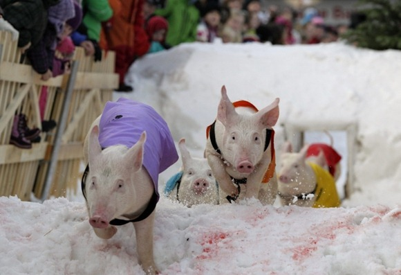 Pig Racing in Switzerland 01