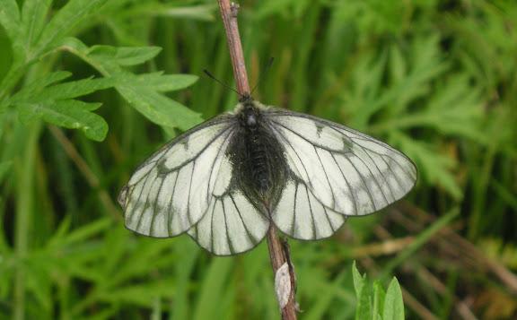 Parnassius stubbendorfii standfussi BRYK, 1912, femelle. Tigrovoy, 24 juin 2011. Photo : J. Michel