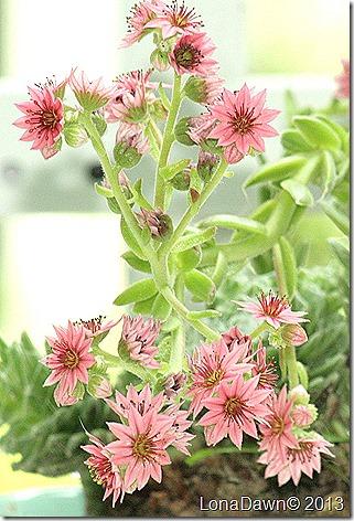 Succulent_Redcobweb_HC_Blooms