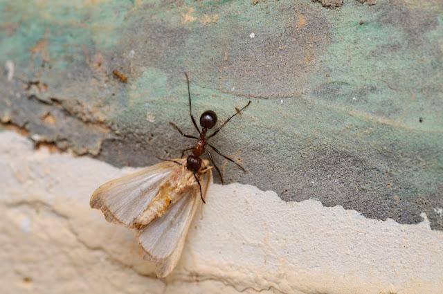 Fourmi Dorylus (FABRICIUS, 1793) ou fourmi Magnan. Ebogo (Cameroun), 25 avril 2013. Photo : Daniel Milan