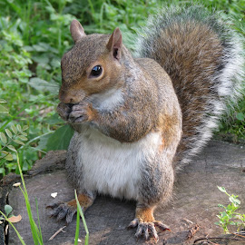 greedy squirrel by Alessandra Belfanti - Animals Other (  )