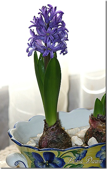 Hyacinth_Forcing