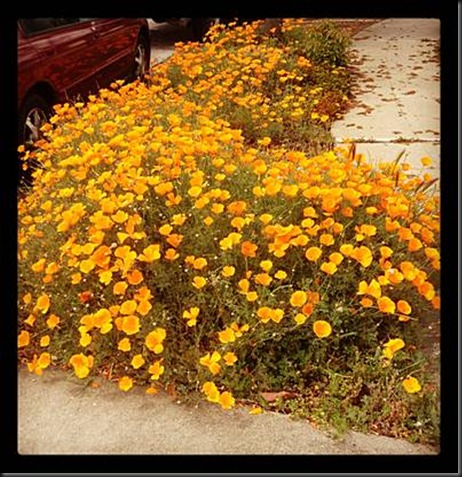 our_california_poppies