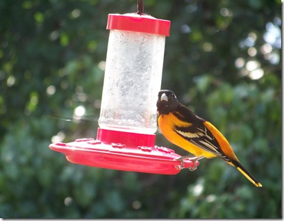 oriole