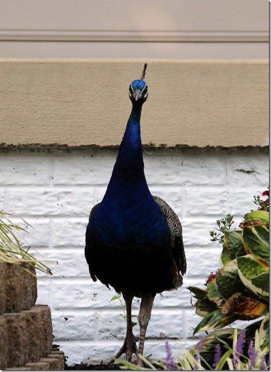 peacockbrick