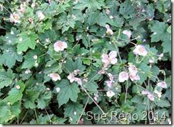 Sue Reno, Pink Japanese anemone flowers