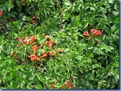 9939 Nashville, Tennessee - orange flowering vine near our hotel - Trumpet Vine
