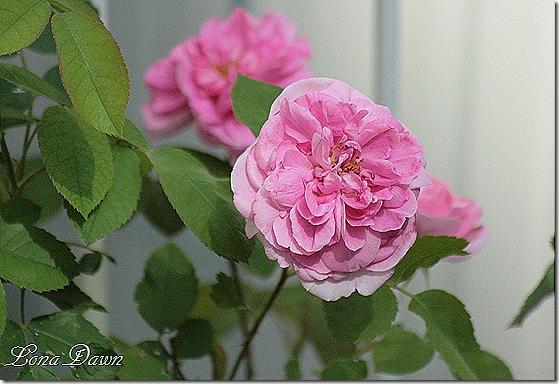 GertrudeJekyll_Rose