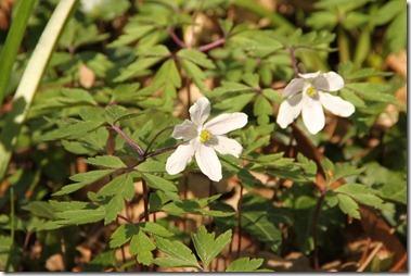 ヤブイチゲ(Anemone nemorosa)