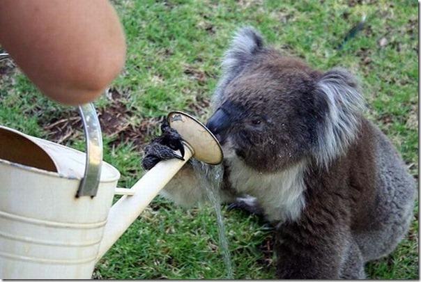 Adoraveis Koalas (2)