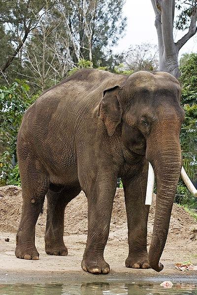 elefante asiatico_1