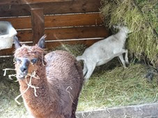 2014.07.19-012 lama et mouton