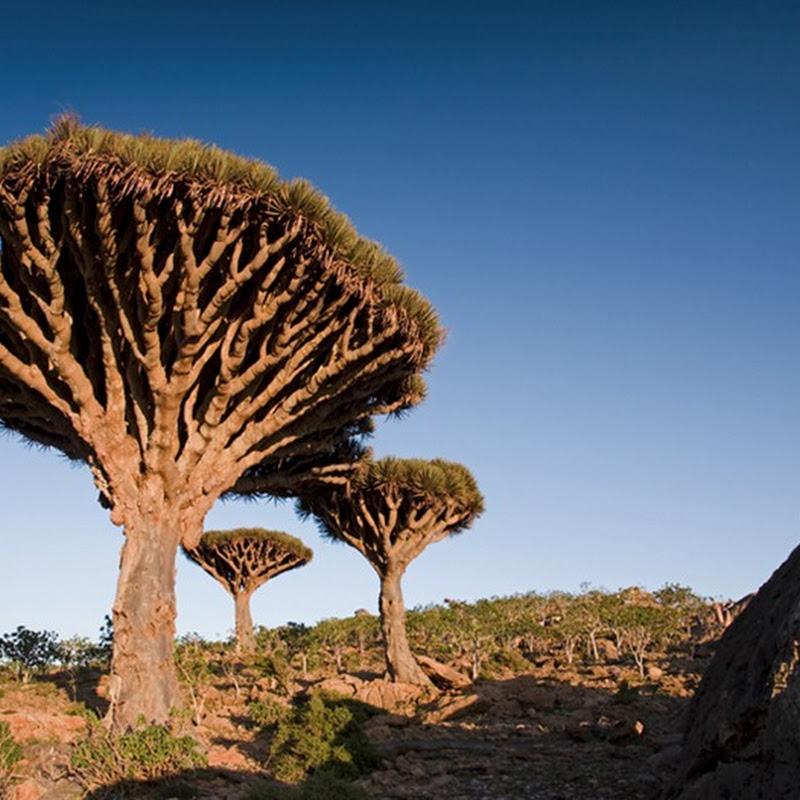 Socotra: The Island of Strange Plants