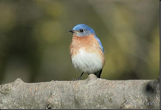 Bluebird_April2012