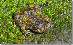 DEVEN'S NIGHT FROG- Nyctibatrachus deveni
