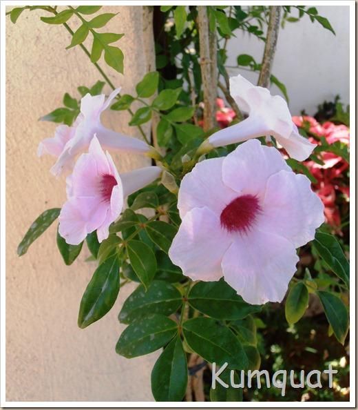 bignonia blanca 1